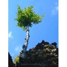 Katalin-szikla fája