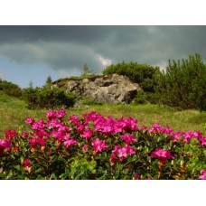 Havasszépe virágzás #1