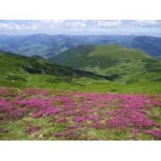 Havasszépe virágzás #3