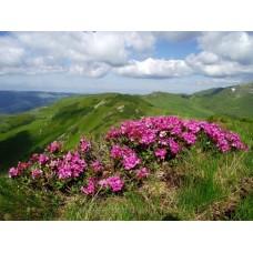 Havasszépe virágzás #4