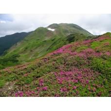 Havasszépe virágzás #2