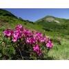 Havasszépe virágzás #5