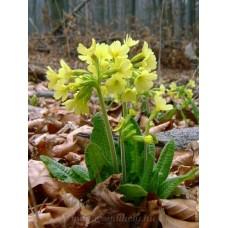Tavaszi kankalin #2