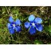 Tavaszi tárnics #2