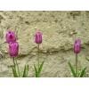 Tulipán #1